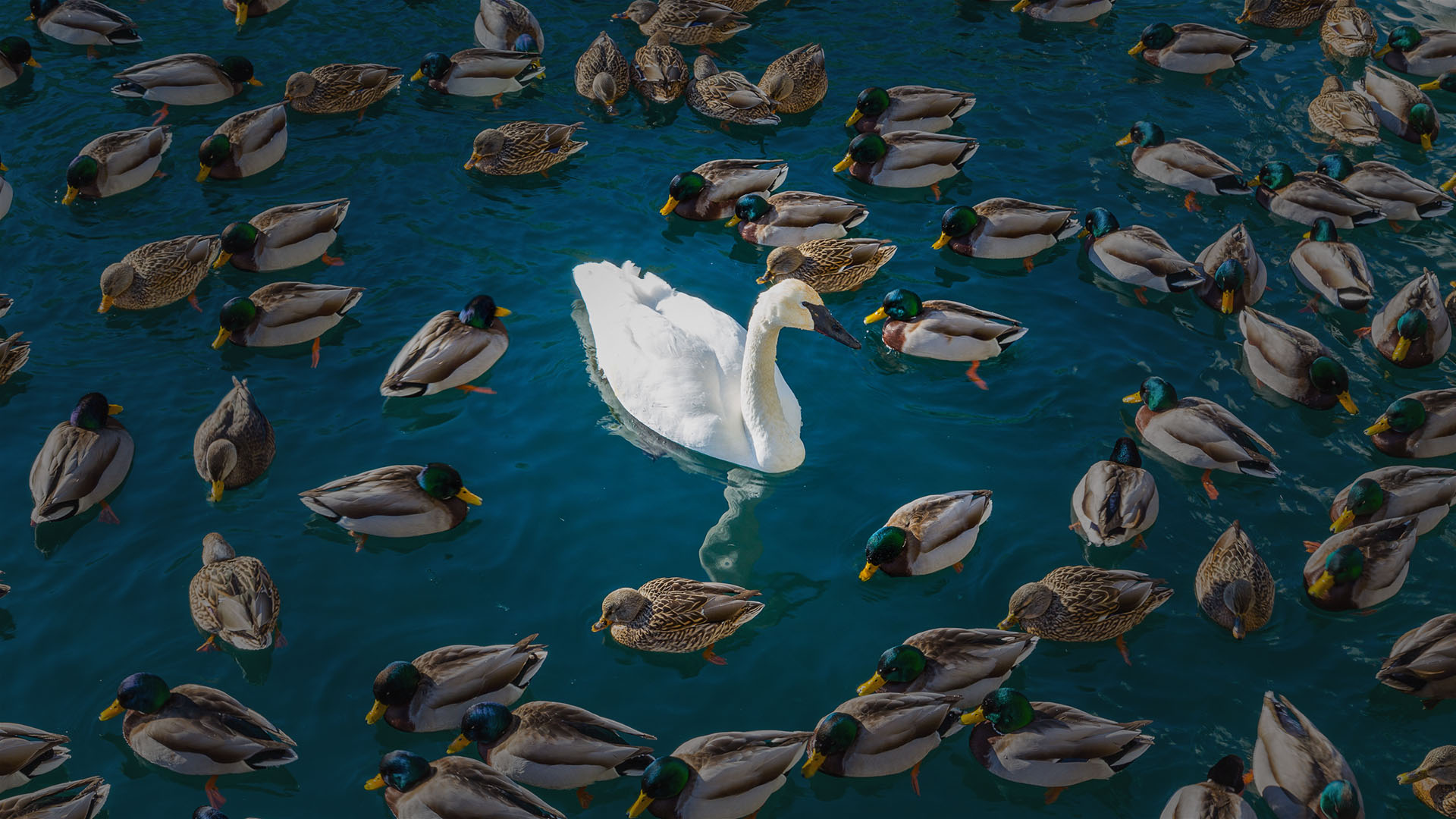 Swan among ducks, Value is More than a Number